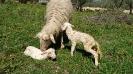 Pecore e agnelli-1
